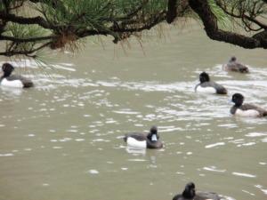 三渓園の池に浮かぶ水鳥